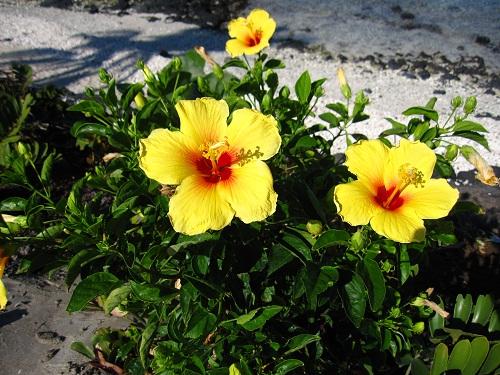 hawaii-flower2.jpg